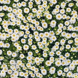 Decoration fabric Marguerite white digital print